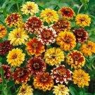 KIMIZA - 50+ ZINNIA PERSIAN CARPET MIX FLOWER SEEDS LONG LASTING ANNUAL