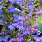 KIMIZA - 50+ BLUE SPRING PENSTEMON HETEROPHYLLUS PERENNIAL FLOWER SEEDS