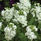 KIMIZA - 50+ WHITE NIGHT SCENTED STOCK FLOWER SEEDS MATTHIOLA LONG LASTING ANNUAL