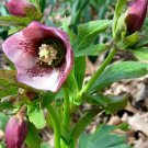 KIMIZA - 15+ CHRISTMAS ROSE HELLEBORUS FLOWER SEEDS PERENNIAL