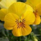 KIMIZA - 30+ VELOUR YELLOW VIOLA SHADE LOVING PERENNIAL FLOWER SEEDS