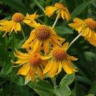 KIMIZA - 50+ HELENIUM HOOPESII GOLDEN FLOWER SEEDS PERENNIAL