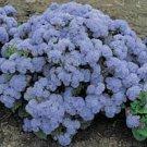KIMIZA - 50+ BLUEMIST HARDY AGERATUM ANNUAL FLOWER SEEDS
