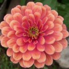 KIMIZA - 50+ ZINNIA SALMON COLORED FLOWER SEEDS ANNUAL