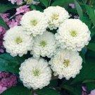 KIMIZA - 30+ ZINNIA OKLAHOMA WHITE FLOWER SEEDS