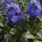 KIMIZA - 50+ CINDERELLA BLUE STOCK MATTHIOLA EVENING SCENTED ANNUAL FLOWER SEEDS