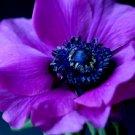 KIMIZA - 30 + PURPLE ANEMONE FLOWER SEEDS PERENNIAL
