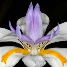KIMIZA - NEW! 30+ AFRICAN IRIS FLOWER SEEDS / BUTTERFLY IRIS / DROUGHT AND FROST HARDY