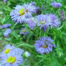 KIMIZA - 50+ ERIGERON BLUE BEAUTY PERENNIAL FLOWER SEEDS DROUGHT TOLERANT FLEA REPELLANT