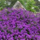 KIMIZA - MOSS VERBENA SEEDS, VIOLET, PERENNIAL GROUNDCOVER FLOWER SEEDS, HEIRLOOM, 75ct