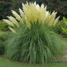 KIMIZA - WHITE PAMPAS GRASS SEEDS, HEIRLOOM ORNAMENTAL GRASS SEEDS, FEATHERY BLOOMS, 50ct
