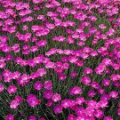 KIMIZA - CHEDDAR PINKS SEEDS, PINK DIANTHUS, PERENNIAL FLOWER, HEIRLOOM GROUND COVER 50ct