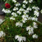 KIMIZA - 100 JAPANESE RADIATA WHITE EGRET ORCHID FLOWER SEED BEAUTIFUL VIABLE BONSAI SEEDS