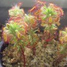 KIMIZA - SUNDEW SEEDS BONSAI INSECT-CATCHING PLANT POTTED CARNIVOROUS 120PCS SEEDS