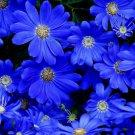 KIMIZA - BLUE DAISY SEEDS, FELICIA THE BLUES, NON-GMO FOWER SEEDS, ANNUAL FLOWER, 50ct