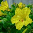 KIMIZA - YELLOW FOUR O'CLOCK SEEDS, NON-GMO HEIRLOOM FLOWER SEEDS, ANNUAL FLOWERS 75ct