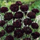 KIMIZA - BLACK BACHELOR BUTTON SEEDS, BLACK CORNFLOWER SEEDS, HEIRLOOM FLOWER SEEDS, 50ct