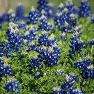 KIMIZA - TEXAS BLUEBONNET SEEDS, HEIRLOOM WILDFLOWER SEEDS, NON-GMO, BLUE FLOWERS, 75ct