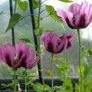 KIMIZA - PURPLE POPPY SEEDS, LAVENDER, HEIRLOOM POPPIES, WILDFLOWERS, NON-GMO ANNUAL 75ct