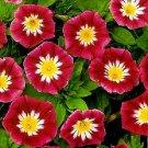 KIMIZA - MORNING GLORY SEEDS, ENSIGN RED, HEIRLOOM FLOWER, CLIMBING VINE, NON-GMO 75 Ct