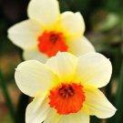 KIMIZA - 100pcs Flower Daffodil Seeds (Not Daffodil Bulbs) Aquatic Plants Narcissus