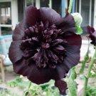 KIMIZA - 25 BLACK PRINCE HOLLYHOCK SEEDS PERENNIAL FLOWER SEED FLOWERS SEED