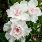 KIMIZA - 4 DOUBLE WHITE DESERT ROSE SEEDS ADENIUM FLOWER BLOOM PERENNIAL SEED