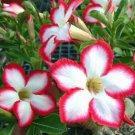 KIMIZA - 4 WHITE RED DESERT ROSE SEEDS ADENIUM FLOWER PERENNIAL