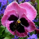 PANSY MAMMOTH PINK BERRY / SELF 35 SEEDING ANNUAL