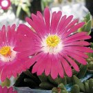 DELOSPERMA CARMINE ICE PLANT FLOWER 50 SEEDS / PERENNIAL