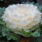 WHITE FLOWERING KALE FLOWER 30 SEEDS