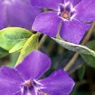 FRAGRANT ORCHID COLOR PERIWINKLE FLOWER 40 SEEDS