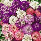 IBERIS UMBELLATA EVERGREEN CANDYTUFT FLOWER 50 SEEDS MIX