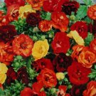 MELTEN FIRE POTENTILLA NEPALENSIS FLOWER 40 SEED MIX