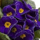 MEGAN PRIMROSE PRIMULA FLOWER 15 SEEDS PERENNIAL