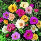 DOUBLE MOSS ROSE MIX / PORTULACA / ANNUAL FLOWER 50 SEEDS