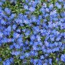 VERONICA CREEPING BLUE SPEEDWELL PERENNIAL FLOWER 50 SEEDS