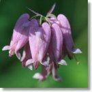 DICENTRA EXIMIA PINK BLEEDING HEART FLOWER 30 SEEDS