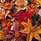 FIREWORKS DAHLIA FLOWER 20 SEED MIX HARDY ANNUAL