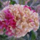 KURUME ROSE COCKSCOMB / CELOSIA FLOWER 30 SEEDS