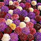SCABIOSA PINCUSHION CUTBRITE MIX (7 COLORS) PERENNIAL FLOWER 30 SEEDS