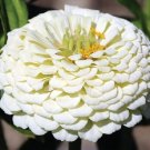 PURE WHITE ZINNIA ELEGANS FLOWER 35 SEEDS