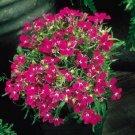 LOBELIA REGATTA ROSE TRAILING PERENNIAL FLOWER 50 SEEDS