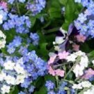 WHITE, BLUE AND ROSE FORGET-ME-NOT MIXED FLOWER 60 SEEDS