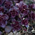 SEDUM SPURIUM VOODOO PERENNIAL FLOWER 50 SEEDS