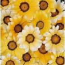 GAZANIA ORANGE CREAM FLOWER 30 SEEDS