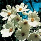 """COSMOS """"PURITY' WHITE"""" FLOWER 50 SEEDS"""
