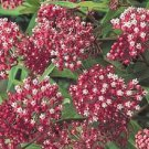 CARMINE BUTTERFLY WEED FLOWER 30 SEEDS
