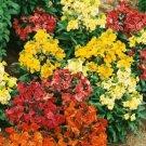 ERYSIMUM CHARITY FLOWER 50 SEEDS MIX