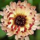 CALENDULA BRONZE BEAUTY FLOWER 40 SEEDS